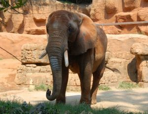 Elephant at Greenville Zoo near The Laurel apartments for rent